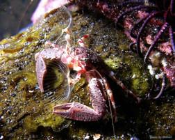 Crabe planctonophage