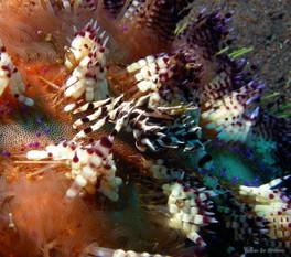 Crabe-Zèbre sur un oursin
