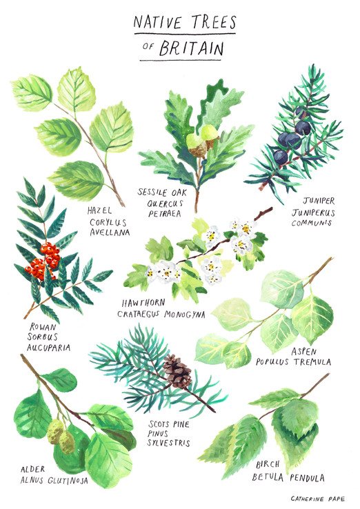 John Muir Trust - Native Tree Poster