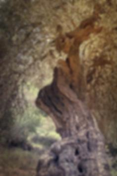 olive tree compr.png