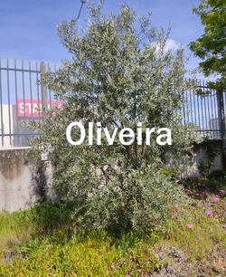 oliveira3