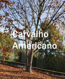 carvalho americano2