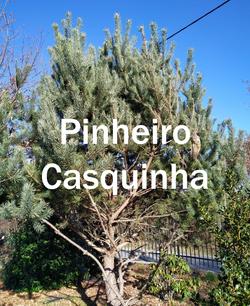 pinheiro casquinha2