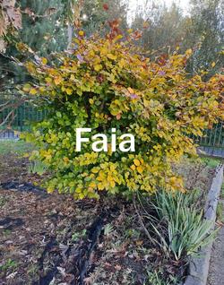 faia2