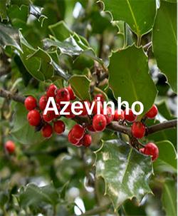 azevinho2