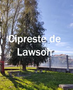 cipreste lawson2.jpg