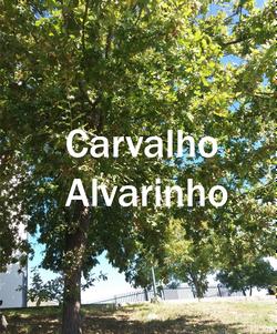 carvalho alvarinho2