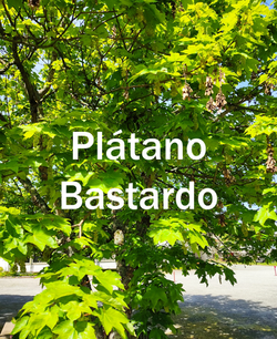 platano bastardo2