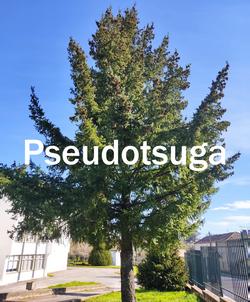 pseudotsuga2