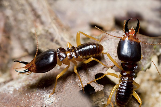 The Termites Article