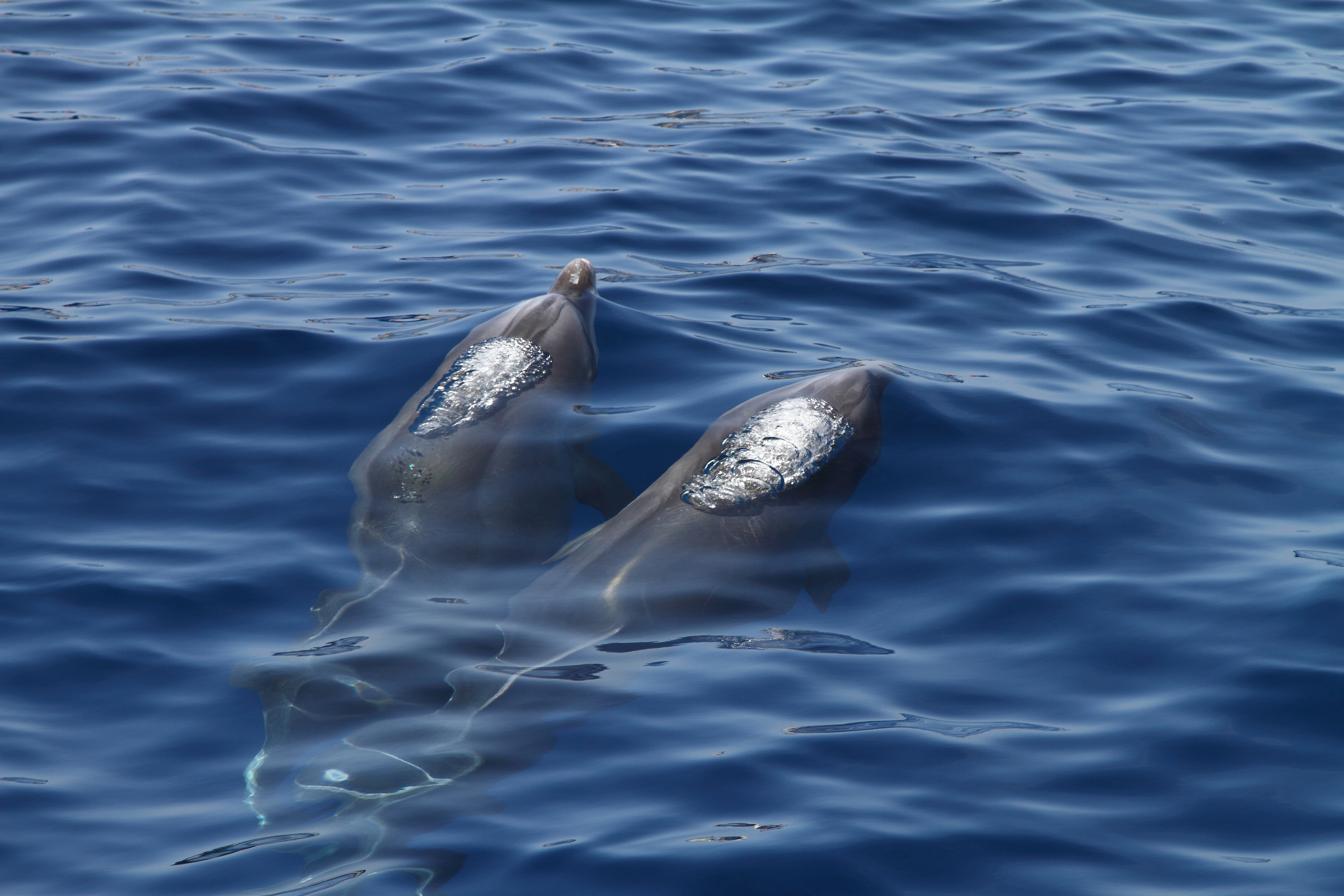 Tenerife Dolphins Blue Jack Sail