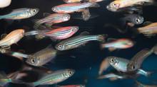 Fish Eyes May Hold Key To Regenerating Human Retinas