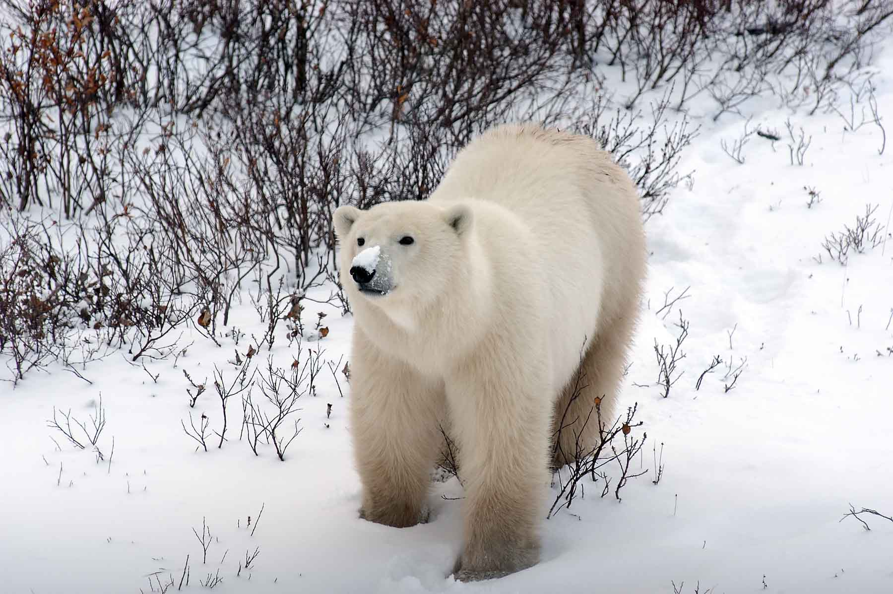 Eisbär in Churchill/ Manitoba