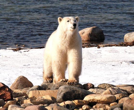 Eisbär auf Baffin Island
