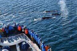 Buckelwale/ Humpback Whales