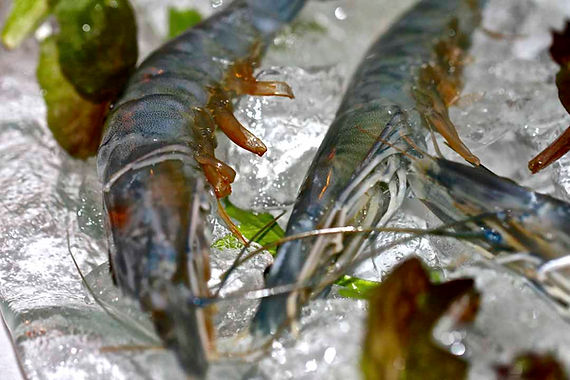 Blue Shrimp