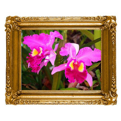 Rainha do Nordeste - Orquídea Cattleya Labiata