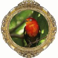 Rei dos Cantos na Amazônia - Uirapuru