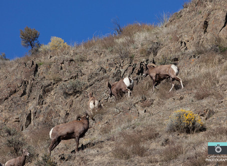 Big Horn Sheep Near Kamloops