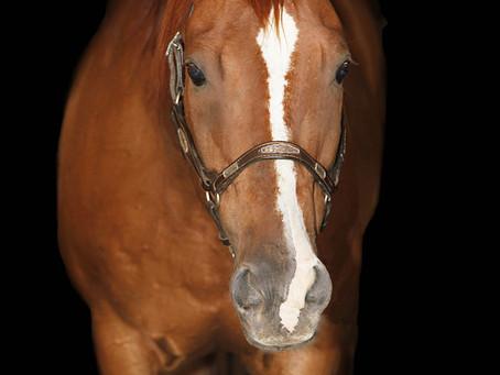 Horse Portrait - Suitor Quarter Horses