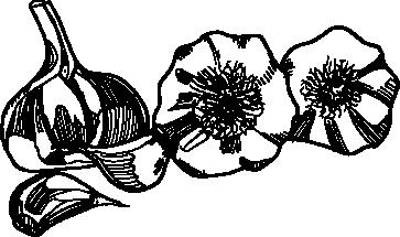 hand-drawn-garlic.png