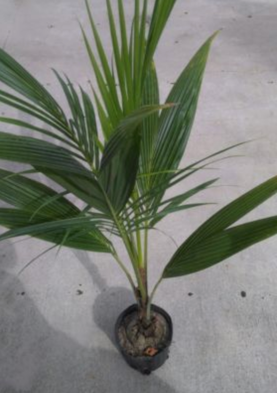 Coconut Palm Tree 2'-7.png
