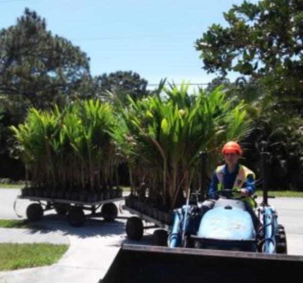 Coconut Palm Tree 5 foot