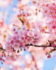 11-photos-that-prove-cherry-blossom-seas