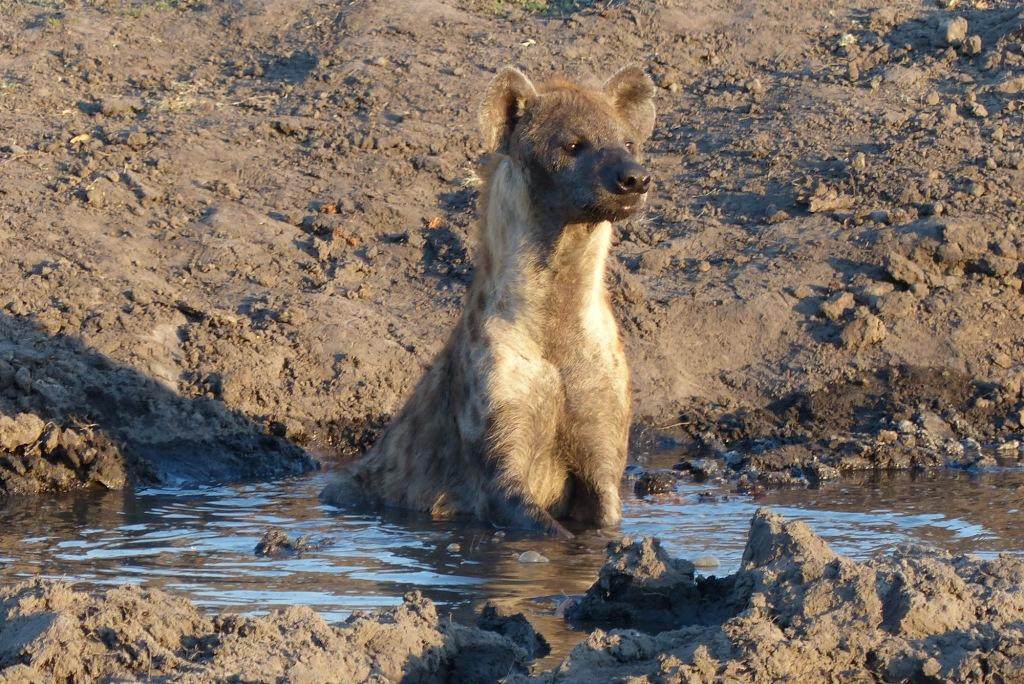 Hyaena cooling off