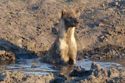 Hyaena cooling off