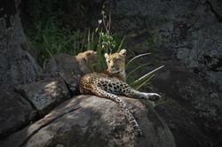 Leopard cub rock