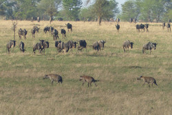 Serengeti prowlers