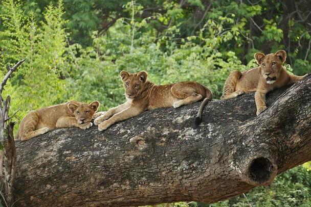 3 Lions on a log.jpg
