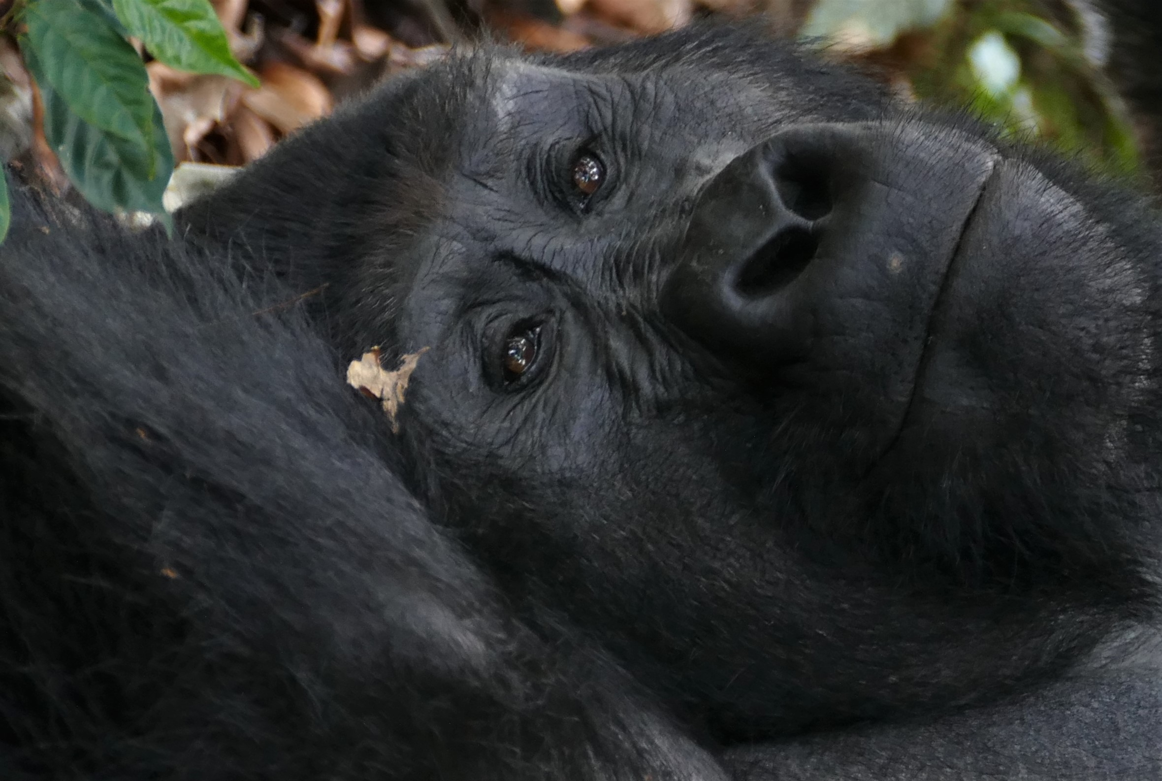 Gorilla daydreaming