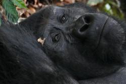 Gorilla daydreaming