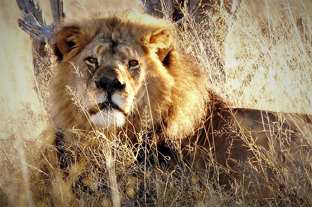 African Lion - safari staple