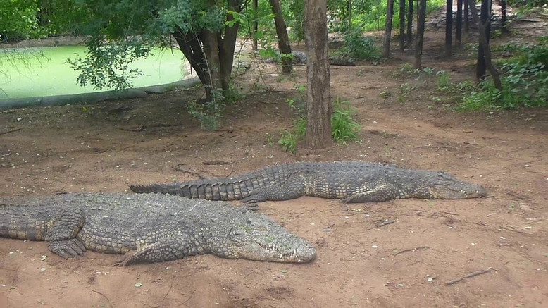 Working croc farm