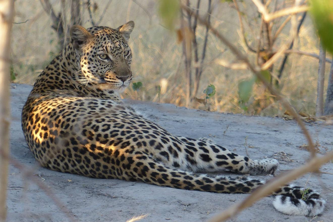 Dappled Leopard
