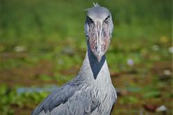 Lake Albert Shoebill Stork