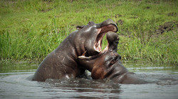 Hippos sparring