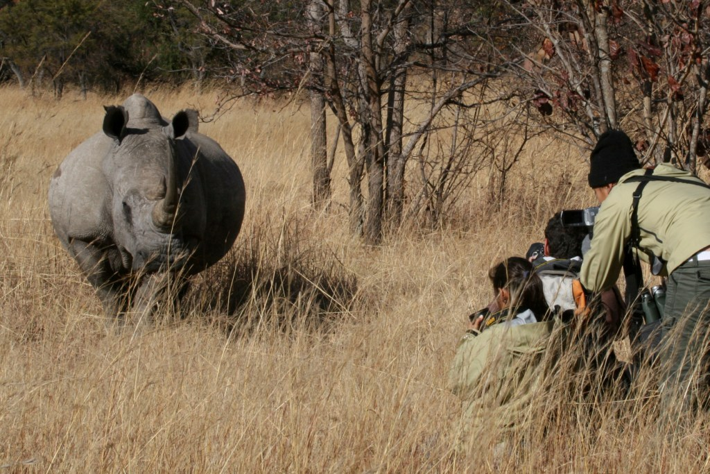 Tracking White Rhino
