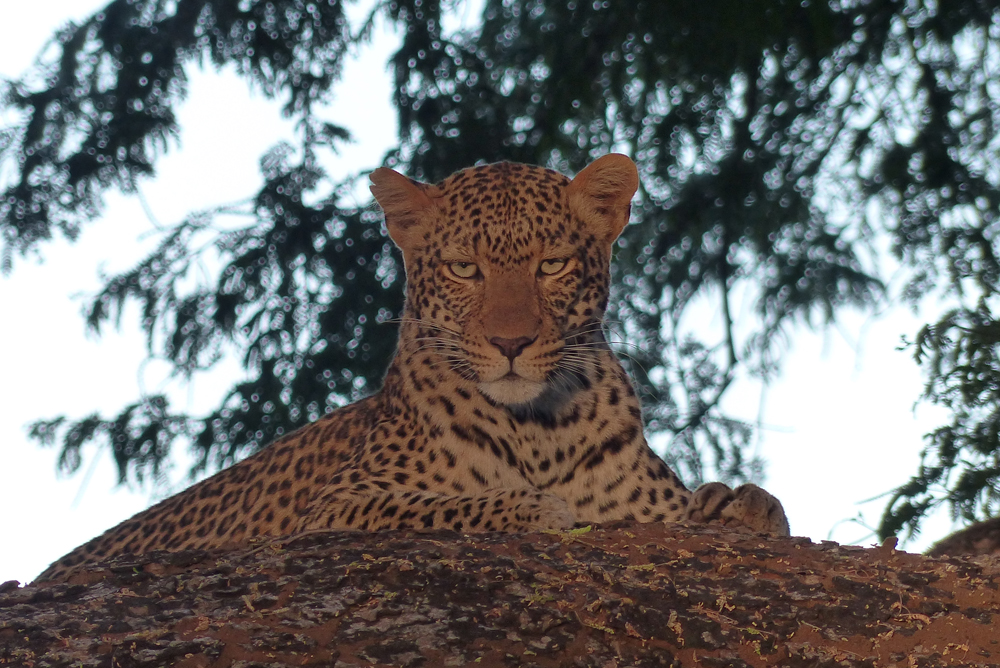 Zambezi leopard