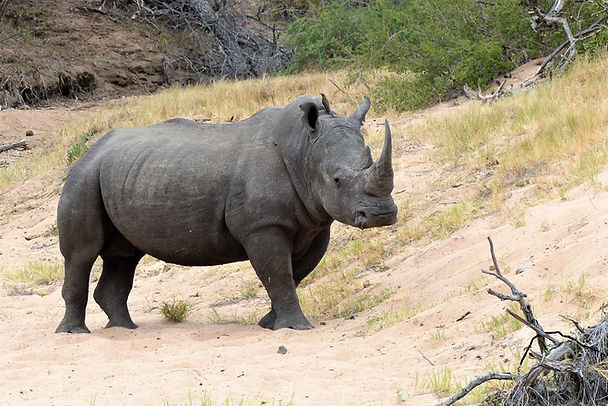 Expeditions to find White Rhino