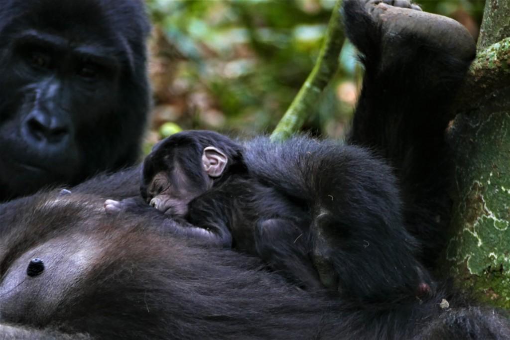 Gorilla future