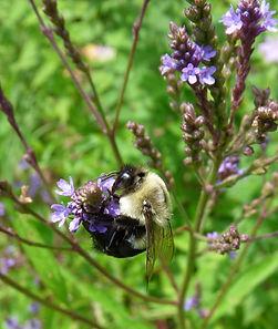 Bee on Verbena.jpg