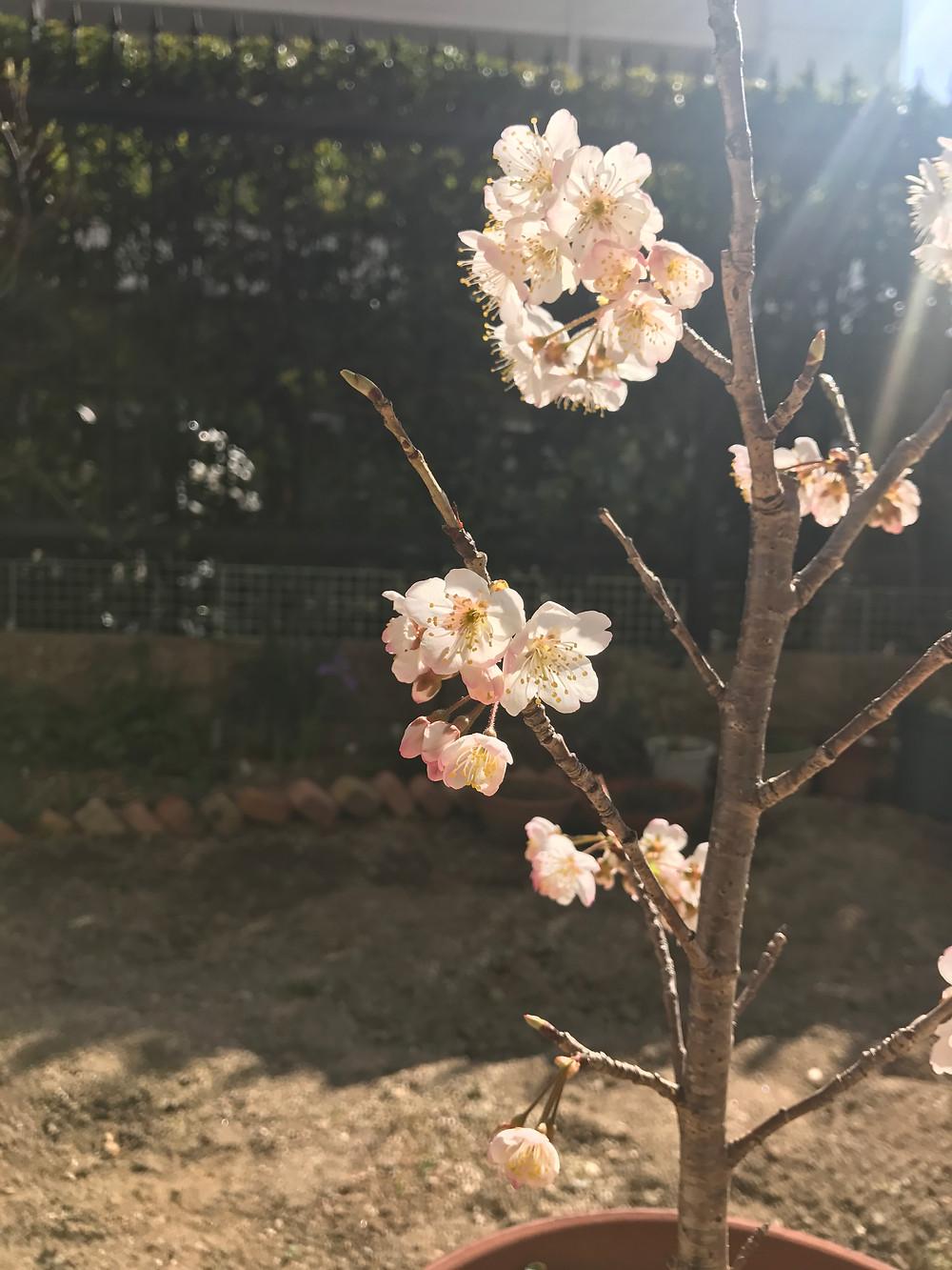 桜桃 さくらんぼ