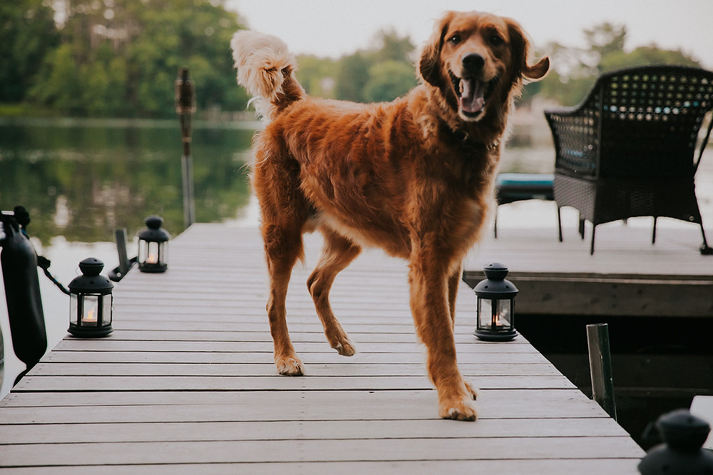 A goldendoodle stands on a dock during a summer Wisconsin surprise proposal