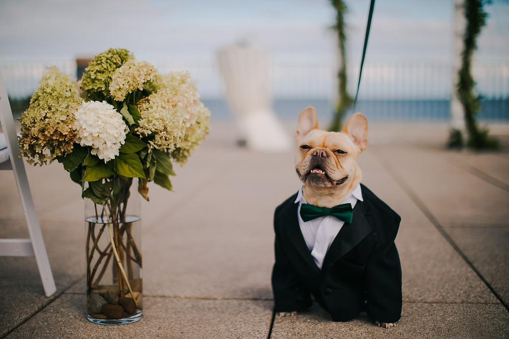 A french bull dog poses for the camera in a dog wedding suit at the Veterans War Memorial Milwaukee wedding