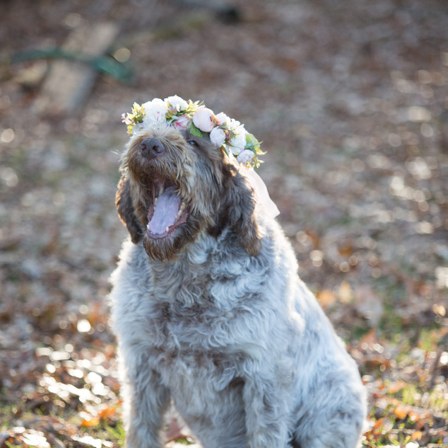 A portrait of a dog with a flower crown on its head in Stevens Point Wisconsin