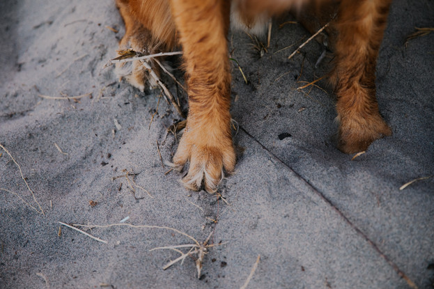 A close up of dog paws in the sand during Kohler-Andrae State Park photos